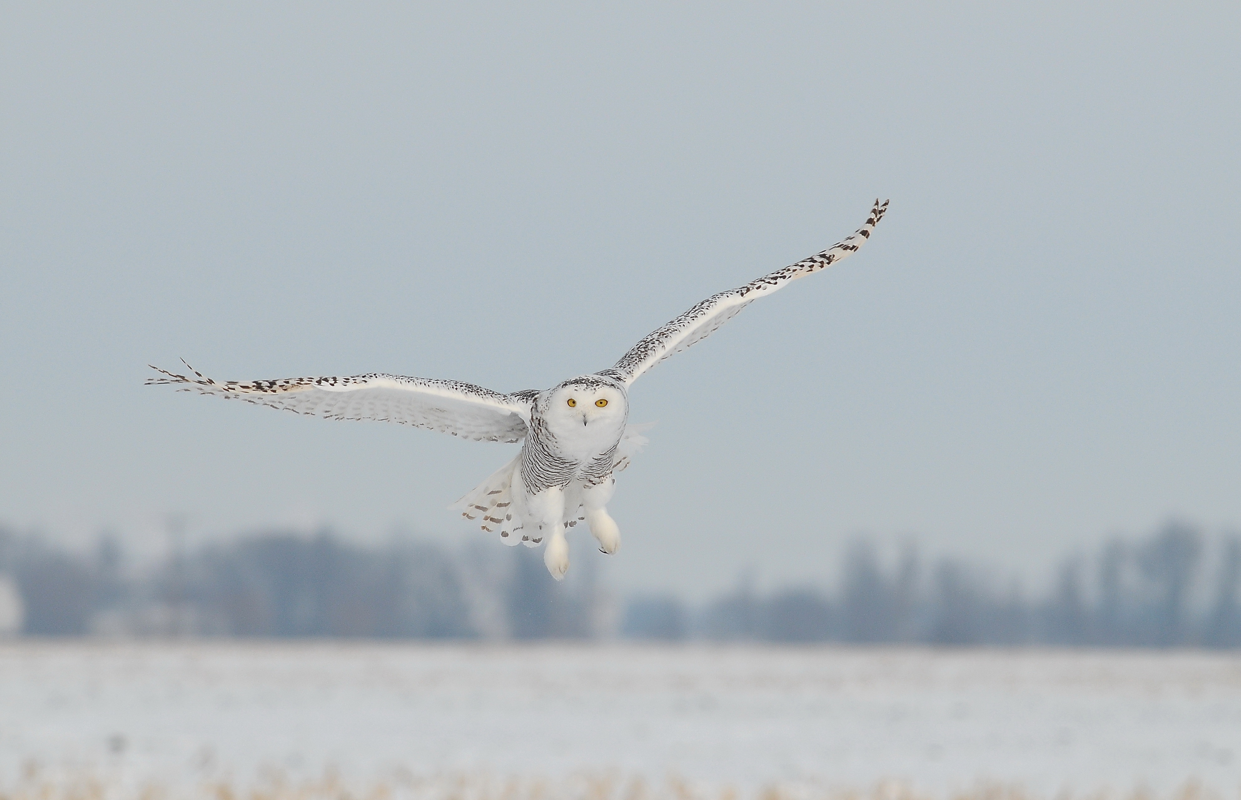 Snowy owls flying